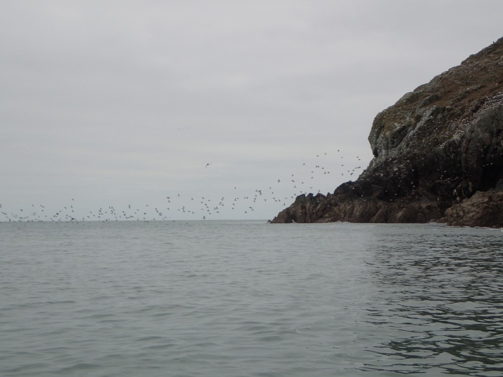 Guillemots comings and goings