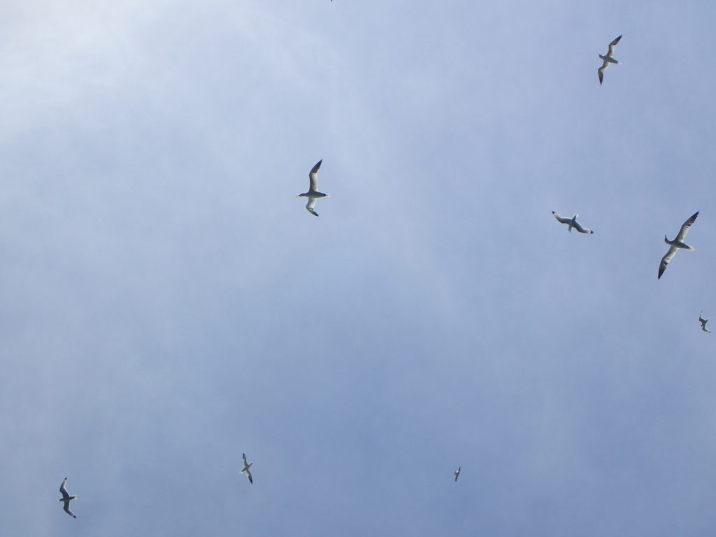 Gannets above the Bempton Arch