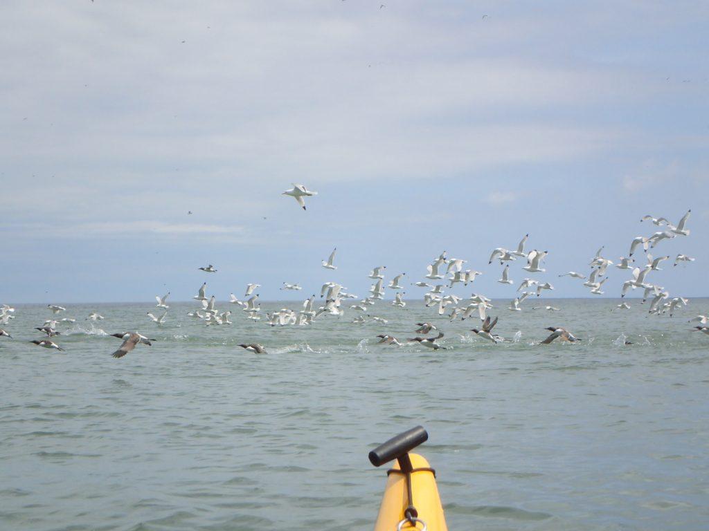 Razorbills take-off with Kittiwakes