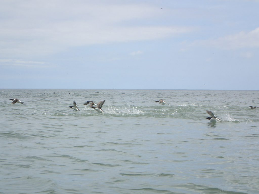Razorbills take-off
