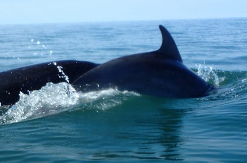 Welsh Dolphins